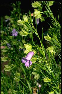 <i>Eremophila gibsonii</i> Species of plant