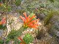 Erica abietina ssp. aurantiaca Baines Kloof (1).jpg