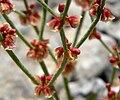 Eriogonum nidularium 5.jpg