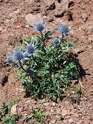 English: Mediterranean Sea Holly (Eryngium bou...