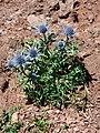 Eryngium bourgatii 1.jpg