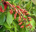 Erythrina crista-galli 07 ies.jpg