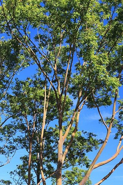 File:Eucalyptus Deglupta Tree. Dole Plantation, Plantation Rd, Wahiawa (503600) (20401220045).jpg