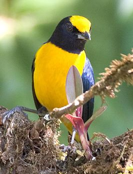 Euphonia xanthogaster 1.jpg