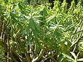 Euphorbia anachoreta 1c.JPG