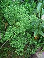 Euphorbia exigua1.jpg