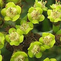 E. ingens, kaktuseuforbia