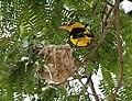 Eurasian Golden Oriole (Oriolus oriolus) on nest W IMG 9026.jpg