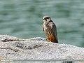 Eurasian Hobby (Falco subbuteo) (34612541990).jpg