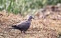 Eurasian collared dove (61).jpg