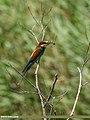 European Bee-eater (Merops apiaster) (45048627785).jpg