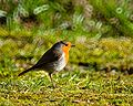 European Robin Erithacus rubecula.jpg