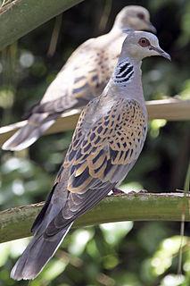European turtle dove species of bird