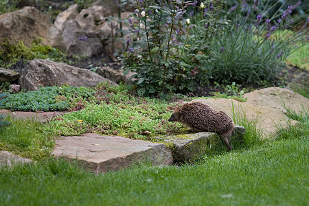 European hedgehog(js)02.jpg
