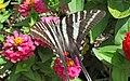 Eurytides marcellus (zebra swallowtail butterfly) on zinnias (Newark, Ohio, USA) 6 (43648327262).jpg