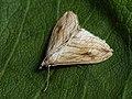 Evergestis forficalis - Garden pebble - Луговая огнёвка хреновая (26965580028).jpg