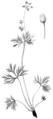 FNY-02 Anemone multifida.png