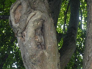 English: A face in a tree