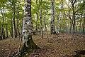 Fagus japonica 01.jpg