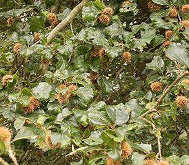 Buk lesný - plody (bukvice)