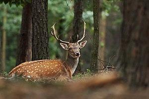 Fallow Deer (Dama dama (Linnaeus, 1758))