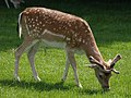 Fallow deer at Dyrham - geograph.org.uk - 1346356.jpg