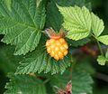 False Salmonberry - Flickr - S. Rae.jpg