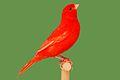 Farbenkanarienvogel aufgehellt rot intensiv.jpg