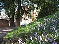 February means crocuses in Shrewsbury, nice to look at but poisonous to eat - panoramio.jpg