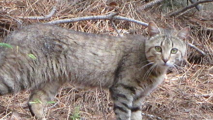 The Sardinian feral cat, long considered a subspecies of the African wildcat, are descended from domesticated cats Felis Lybica Sarda 05.JPG