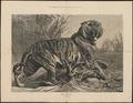 Felis tigris - 1879 - Print - Iconographia Zoologica - Special Collections University of Amsterdam - UBA01 IZ22100071.tif