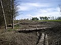 Felled trees - geograph.org.uk - 1386711.jpg