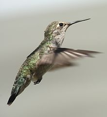Female annas hummingbird hovering.jpg