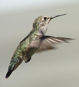 Anna's hummingbird - Image: Female annas hummingbird hovering