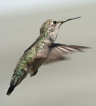 Anna's hummingbird - Image: Female annas hummingbird hovering