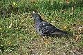 Feral pigeon in Zelenograd 01.jpg