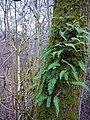Fern on tree trunk by Hareshaw Burn - geograph.org.uk - 1143199.jpg