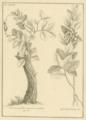 Feuillée Urceolaria.png