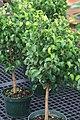 Ficus benjamina 16zz.jpg