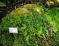 Ficus tapissant (Ficus pumila), Jardí Botànic de València.jpg