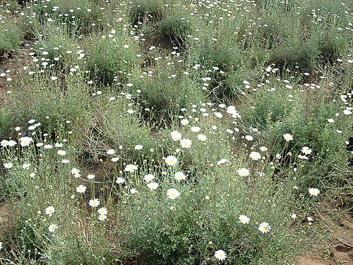 Fields of white daisies (Chrysanthemum cinerariaefolium )
