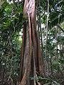Fig tree, Cape Hillsborough National Park, Queensland 04.jpg