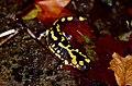 Fire Salamander (Salamandra salamandra) (36149804431).jpg