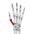First metacarpal bone (left hand) 01 palmar view.png