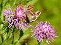 Fjärilar Butterfly (23405657845).jpg