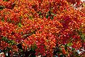 Flamboyant cluster.jpg