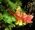 Flickr - brewbooks - Aquilegia formosa Red columbine (1).jpg
