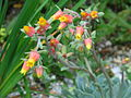 Flickr - brewbooks - Echeveria in our Garden.jpg