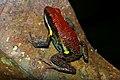 Flickr - ggallice - Poison frog.jpg
