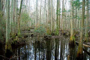 Palustrine wetland - Forested swamp in Osceola National Forest